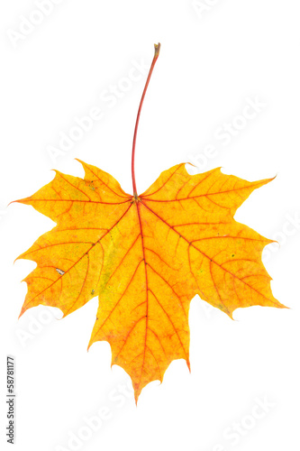 Autumn maple leaf on white