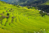 Rice field in Nepal