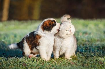 Saint bernard puppy playing with british shorthair cat