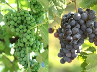 uva bianca e uva nera_ grappoli