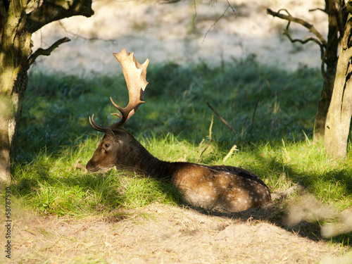 Male fallow deer (Dama dama) in the Waterleidingduinen, NL