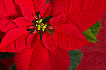 Red poinsettia flower (Euphorbia pulcherrima), closeup