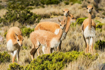 Vicunas in the peruvian Andes Arequipa Peru