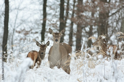 Papiers peints Roe Roe deer with his offspring in winter scenery