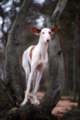 Ibizan hound dog and tree