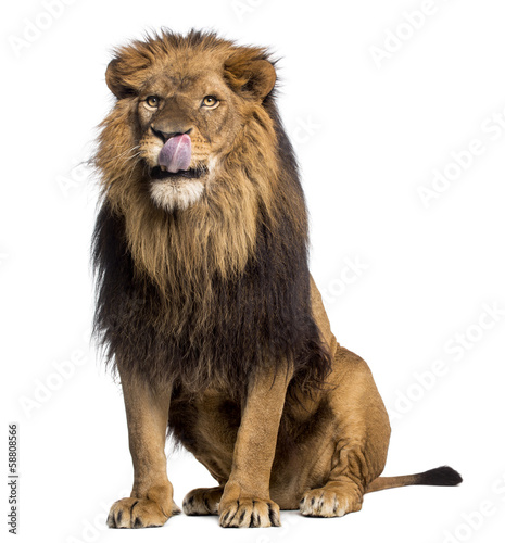 Lion sitting, licking, Panthera Leo, 10 years old, isolated