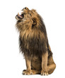 Lion roaring, sitting, Panthera Leo, 10 years old, isolated