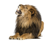 Lion lying, roaring, Panthera Leo, 10 years old, isolated