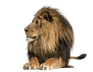 Lion lying, looking away, Panthera Leo, 10 years old, isolated