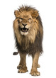 Front view of a Lion roaring, standing, Panthera Leo