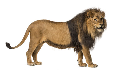Side view of a Lion standing, roaring, Panthera Leo