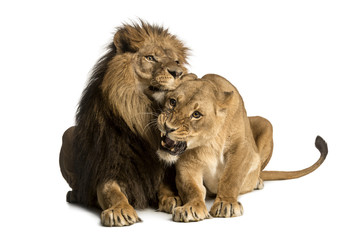 Lion and lioness cuddling, lying, Panthera leo, isolated