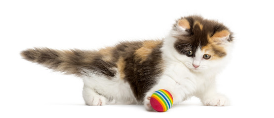 Side view of an Highland straight kitten playing with a ball