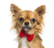 Close-up of a Chihuahua wearing a bow tie, 11 months old