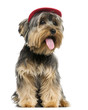 Yorkshire Terrier wearing a cap, sitting, panting, 9 months old