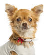 Close-up of a dressed-up Chihuahua, looking at the camera
