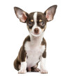 Front view of a Chihuahua, sitting, 4 months old, isolated