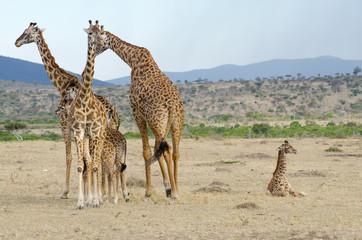 group of wild giraffe on the kenyan grasslands