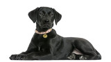 Side view of a Labrador retriever puppy, 5 months old, isolated