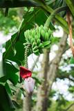 Banana bunch (Musa acuminata) poster