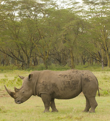 large bull rhino on african grasslands