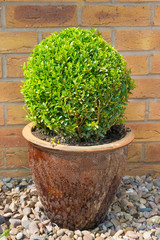 Box shrub in a clay pot clipped into a sphere