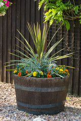 Oak barrel planted with cordyline shrub