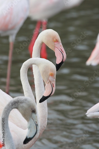 Foto op Aluminium Flamingo fenicotteri rosa