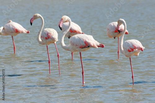 Foto Spatwand Flamingo fenicotteri rosa
