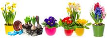 Kwiaty hiacynt, narcyz i pierwiosnki