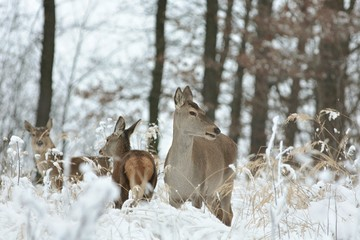 Roe deer with his offspring in winter scenery