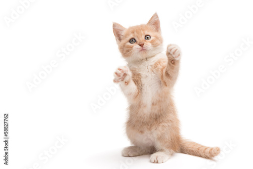 Kitten standing playing