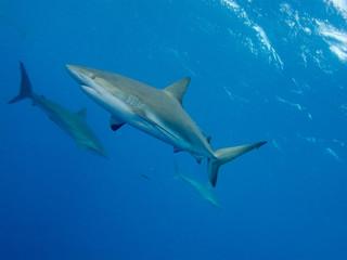 Silky sharks (Carcharhinus falciformis)