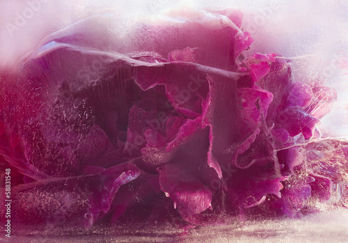 Frozen pink peony flower © foryouinf