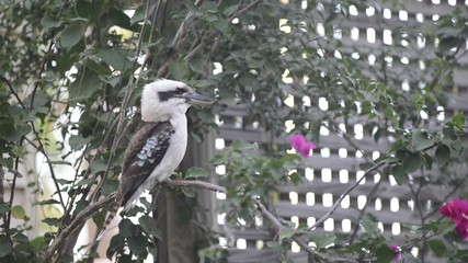Australian native Kookaburra bird close up in the wild