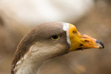 portrait of a goose