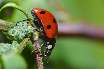 red ladybug on a green leaf in the grass