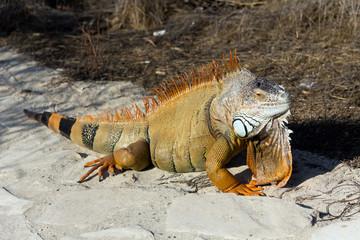 Lazy iguana lay on the sand
