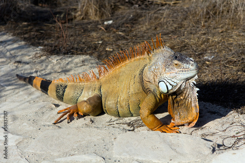 Lazy iguana lay on the sand