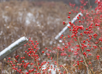 Canada Winter Holly