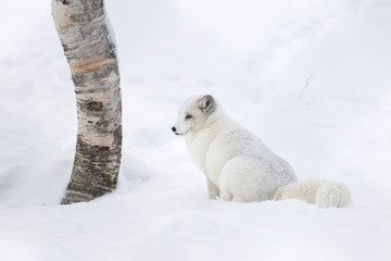 Captive Arctic Fox