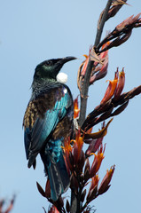 Tui -  Bird of New Zealand