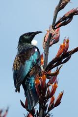 Tui -  Bird of New Zealand