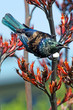 Tui -  Bird of New Zealand - 58843709