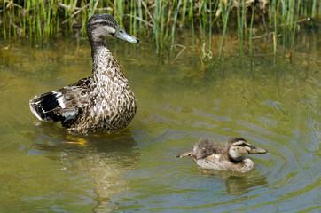 Female Mallard duck and here duckling