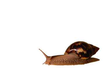 Giant African snail, Achatina, isolated on a white background.