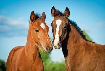 Portrait of two foals in summer