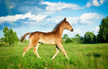 Bay foal running in summer field