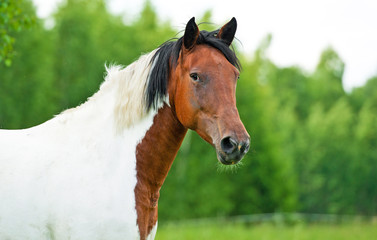 Portrait of painted horse