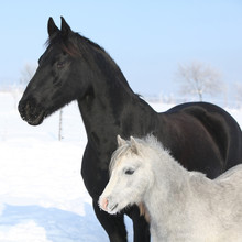 Poney gris avec cheval frison noir